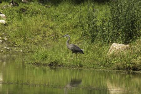 wade: Great Blue Heron fishing Stock Photo