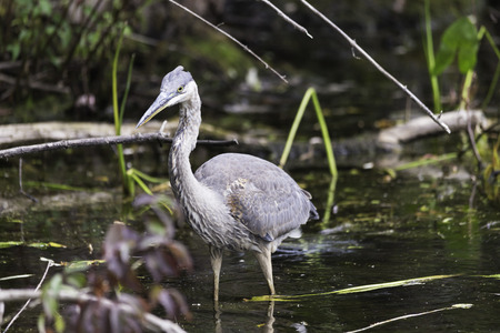bluegill: Great Blue Heron Stock Photo
