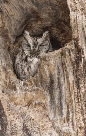 megascops: Eastern Screech Owl