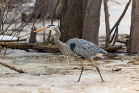 A Great Blue Heron in spring