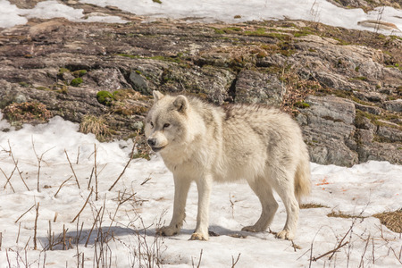 arctic: A lone Arctic Wolf