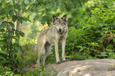 timber wolf: A lone timber wolf in a forest Stock Photo