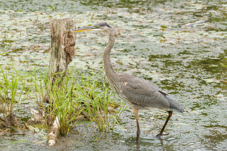 legs spread: Great Blue Heron in a pond Stock Photo