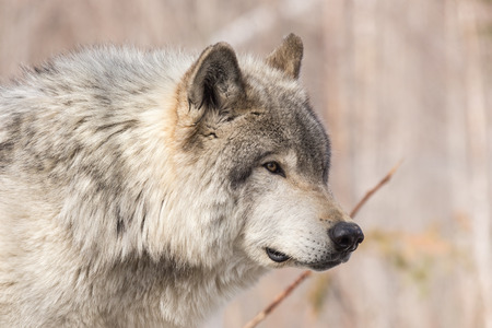 timber wolf: Timber wolf Stock Photo