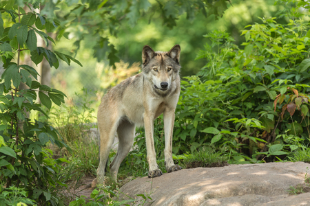 timber wolf: Timber wolf in a forest Stock Photo