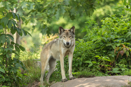 timber wolf: Timber wolf in a green forest