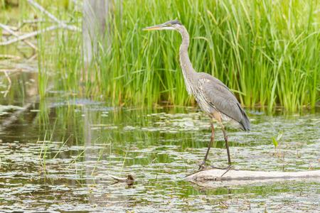 beine spreizen: Great Blue Heron Lizenzfreie Bilder