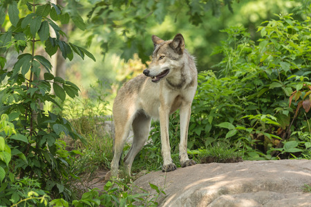 timber wolf: A lone timber wolf in a green forest Stock Photo