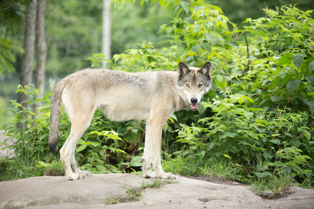timber wolf: A lone Timber Wolf in the summer in the woods Stock Photo