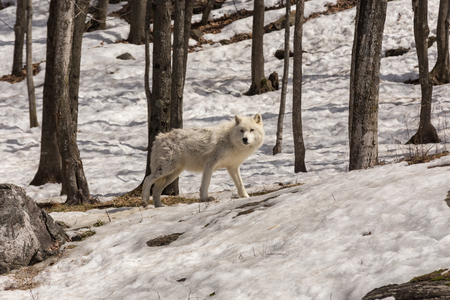 Arctic Wolf in a forest Banco de Imagens