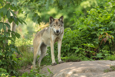 back pack: Timber wolf in a forest Stock Photo