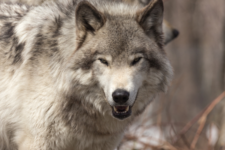 timber wolf: Timber wolf in a winter scene