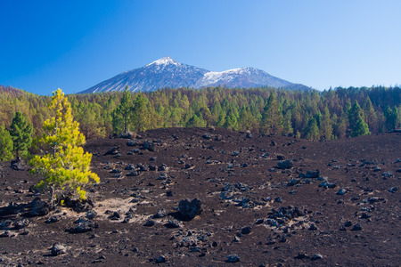 lava field: Contrasting pine trees on the lava field, Pico del Teide and Viejo in the background, Tenerife, Spain