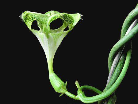 Alien Flower - closeup of a flower of Ceropegia sandersonii Stock Photo