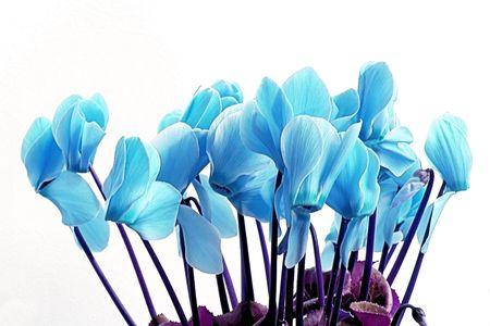 Blue Cyclamen