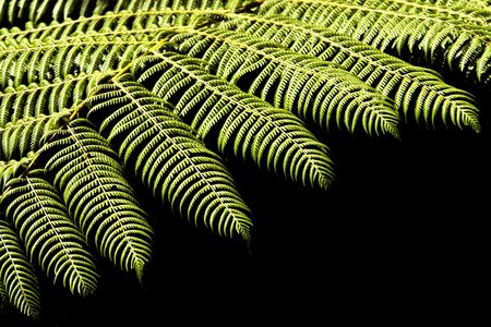 Close-up of a native fern of lowland forests in New Zealand Stock Photo
