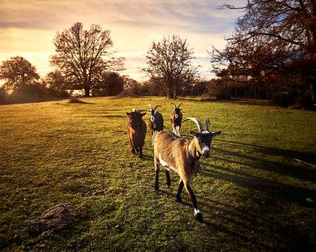 five goats walking in sunset 免版税图像