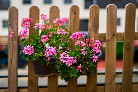 Selective focus of a flower in a balcony, Ivy geranium Pelargonium peltatum.
