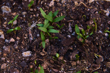 Small shoots of giant parsley germinating in topsoil. Archivio Fotografico
