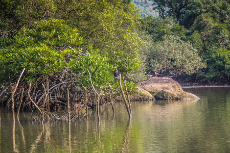 Mangrove in Goa southern India