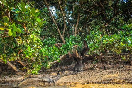 Mangrove in Goa southern India