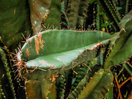 closeup of cactus plant in Karnataka southern India