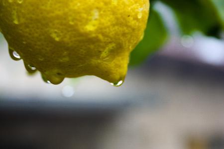 lemon tree from Jerusalem Stock Photo