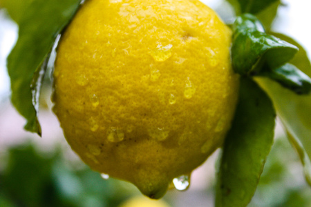 closeup of a lemon tree from Jerusalem Stok Fotoğraf