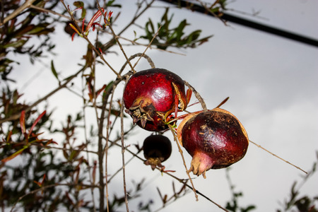 closeup of pomegranate from Israel