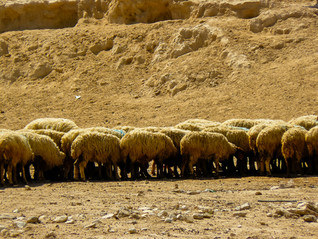 View of a flock of sheep in the Negev desert in Israel