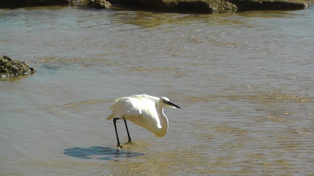 Closeup of a withe egret phishing on the beach in Israel