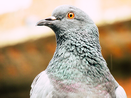Kathmandu Nepal August 31, 2018 Closeup of a pigeon posing at the top of a stupa at Swayambhunath area in Kathmandu in the evening Standard-Bild - 107774251