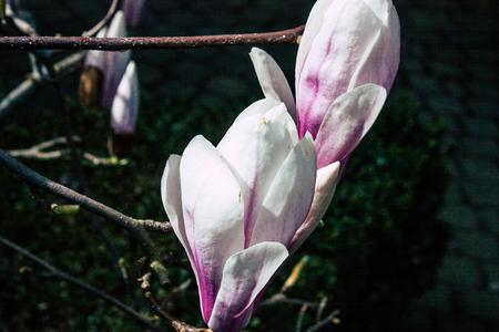 Voorburg Netherlands March 26, 2019 Closeup of  flowers in the streets of Voorburg in the afternoon Imagens