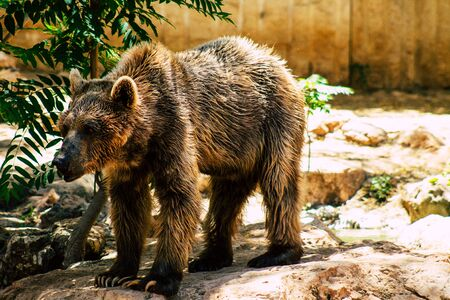 The Syrian brown bear (Ursus arctos syriacus) is a relatively small subspecies of brown bear native to the Middle East