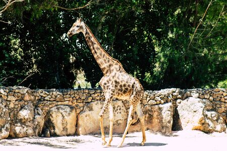 The Angolan giraffe also known as Namibian giraffe, is a subspecies of giraffe that is found in northern Namibia, south-western Zambia, Botswana, and western Zimbabwe