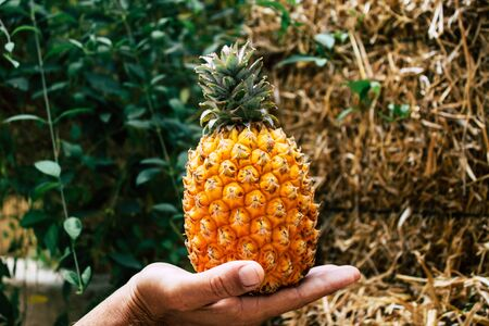 Tel Aviv Israel July 18, 2019 Closeup of an unknown people holding a small pineapple on nature background Stock fotó