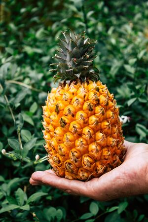 Tel Aviv Israel July 18, 2019 Closeup of an unknown people holding a small pineapple on nature background Stock fotó - 127440851