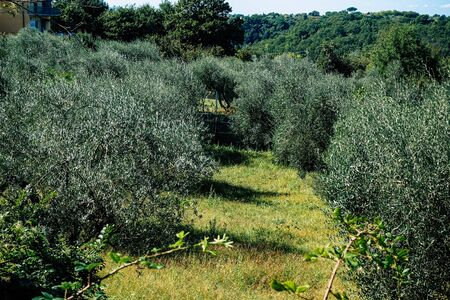 valley, europe, leaf, tradition, natural, fresh, plantation, crop, country, wood, landscape, beautiful, countryside, organic, background, branch, rural, farm, season, field, farming, harvest, old, italian, oil, mediterranean, plant, agriculture, nature, green, tree, olive, italy 版權商用圖片 - 131850504