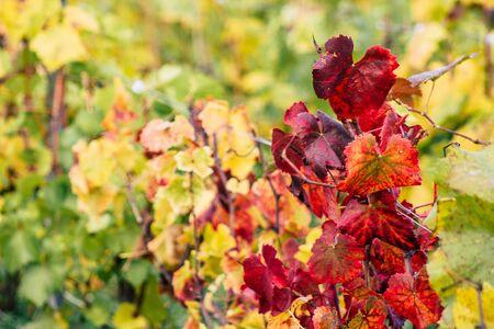 Reims Francja 4 listopada 2019 r. Widok winnicy domu Taittinger Champagne jesienią na wsi Reims po południu