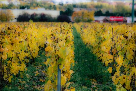 View of the vineyard of Champagne during autumn in the countryside of Reims in France