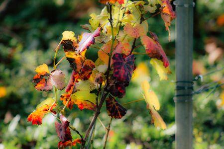 Vue sur le vignoble de Champagne en automne dans la campagne de Reims en France