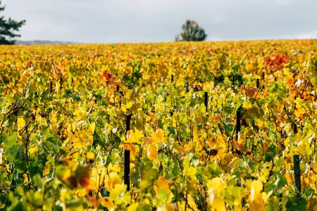 Reims France November 4, 2019 View of the vineyard of Taittinger Champagne house during autumn in the countryside of Reims in the afternoon