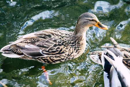 View of wild duck in a pond near Reims in France