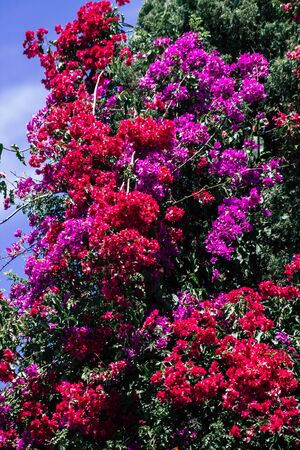 Limassol Cyprus May 26, 2020 Closeup of colorful flowers from a tree in a public garden in Cyprus island Standard-Bild