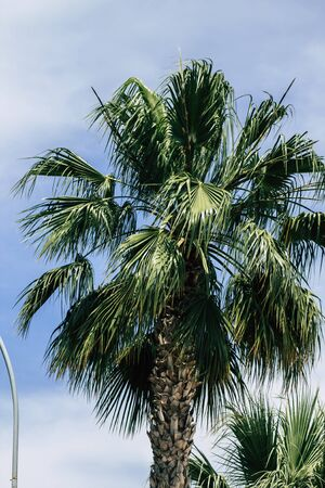 Limassol Cyprus May 26, 2020 View of a palm tree growing in the streets of Limassol in Cyprus island