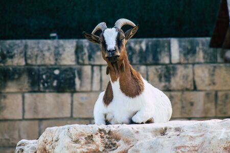 View of domestic goat, a subspecies of C. aegagrus domesticated from the wild goat of Southwest Asia and Eastern Europe. The goat is a member of the animal family Bovidae and the subfamily Caprinae