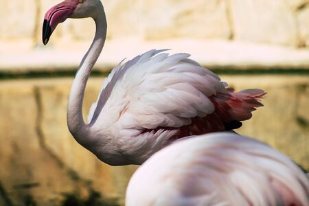 View of pink flamingo, a large bird that are identifiable by their long necks, sticklike legs and pink or reddish feathers Standard-Bild
