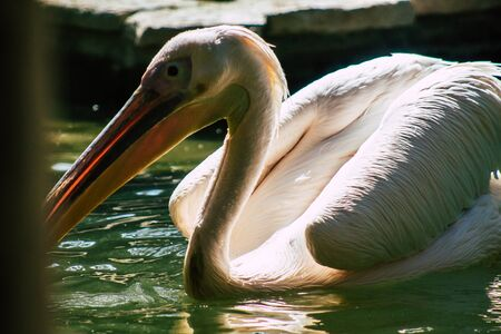 View of a great white pelican also known as the eastern white pelican, a bird in the pelican family. It breeds from southeastern Europe through Asia and Africa, in swamps and shallow lakes 版權商用圖片