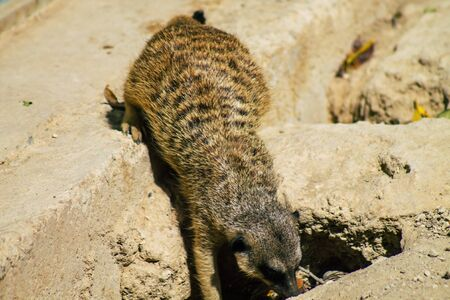 View of meerkat or suricate, a small mongoose found in southern Africa. It is characterised by a broad head, large eyes, a pointed snout, long legs, a thin tapering tail and a brindled coat pattern
