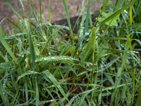 Water drops and dew on the grass. It is a cloudy day, with a blurred background. Stock Photo